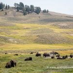 Bisontes en Hayden Valley