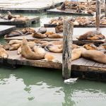 Leones marinos, en el Pier 39